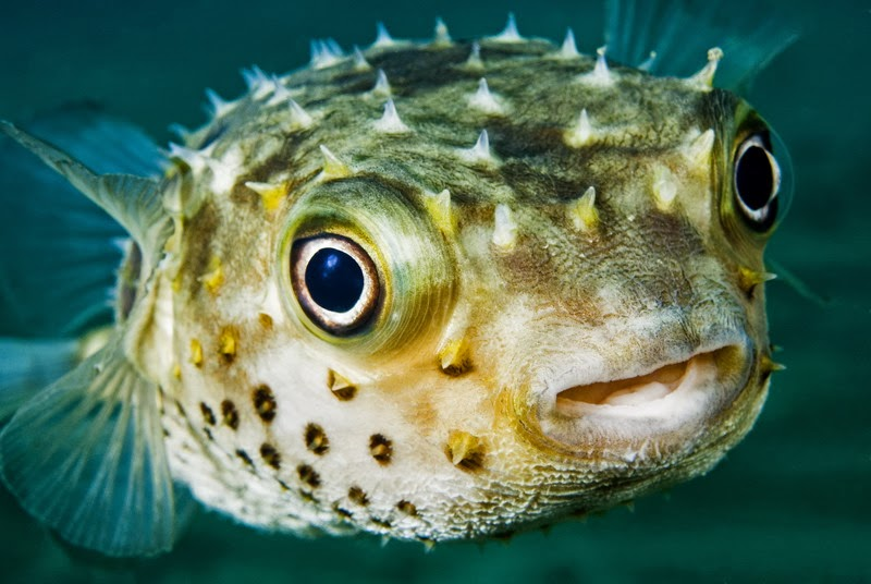 Pufferfish Pics, Animal Collection