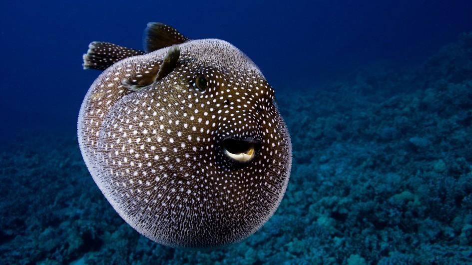 High Resolution Wallpaper   Pufferfish 945x531 px