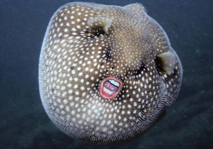 High Resolution Wallpaper   Pufferfish 720x504 px