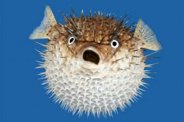 Pufferfish High Quality Background on Wallpapers Vista