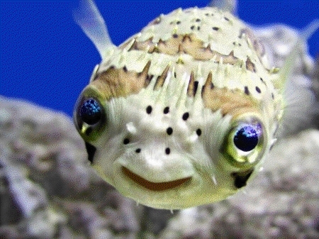 HD Quality Wallpaper | Collection: Animal, 450x337 Pufferfish