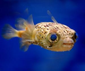 HQ Pufferfish Wallpapers   File 9.16Kb
