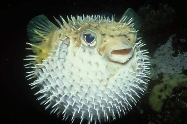 Images of Pufferfish | 620x413