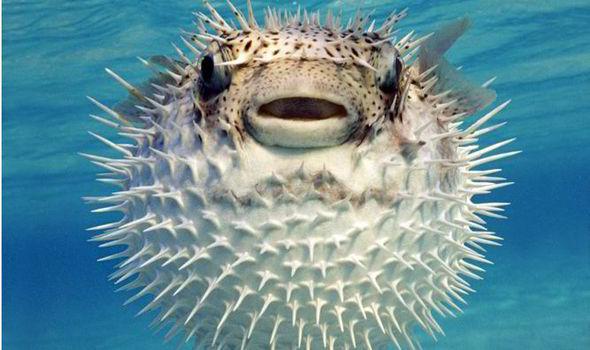 HQ Pufferfish Wallpapers   File 38.55Kb
