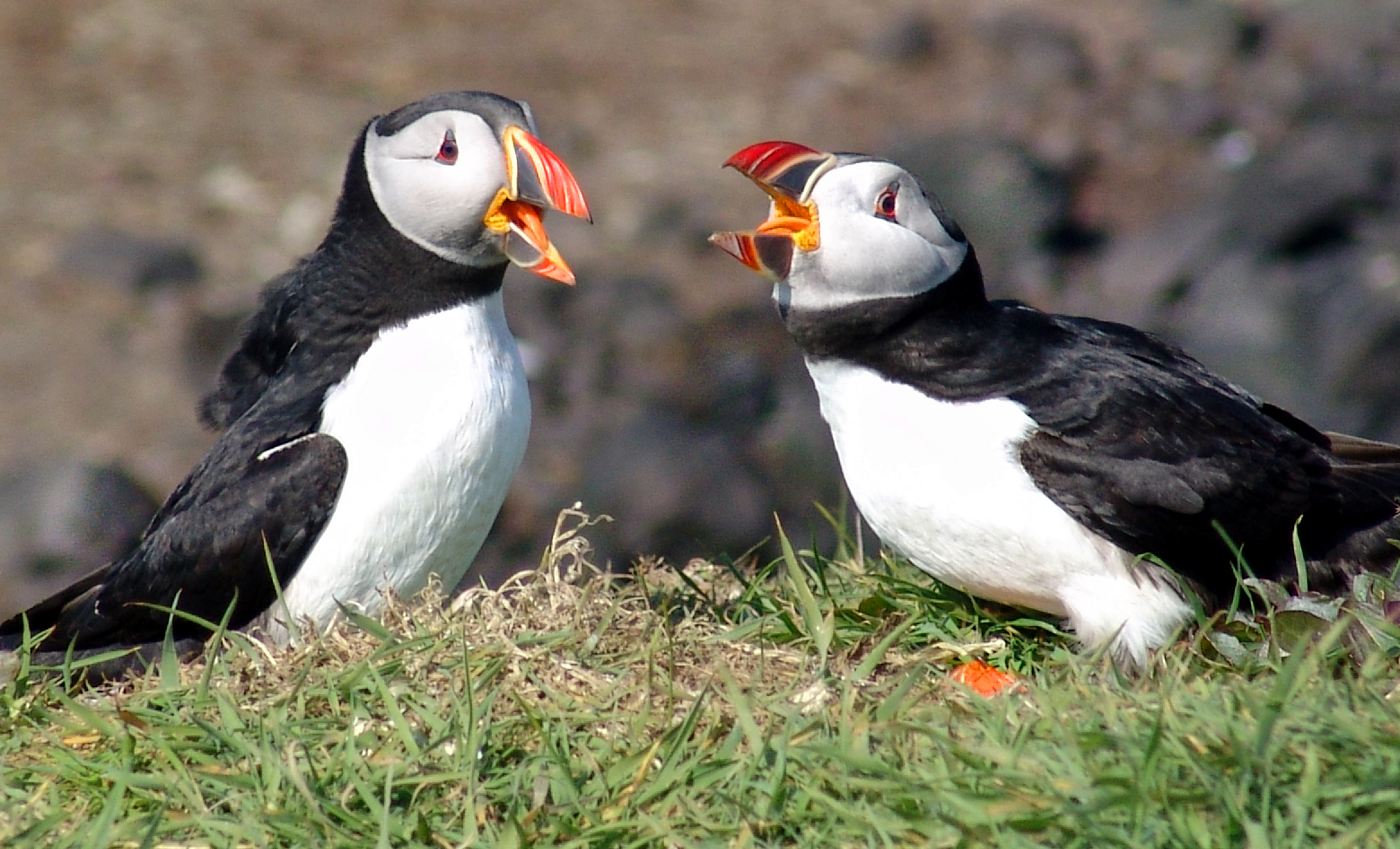 HQ Puffin Wallpapers | File 2893.86Kb