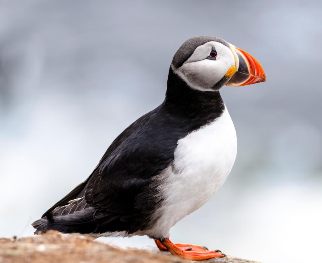 Nice Images Collection: Puffin Desktop Wallpapers