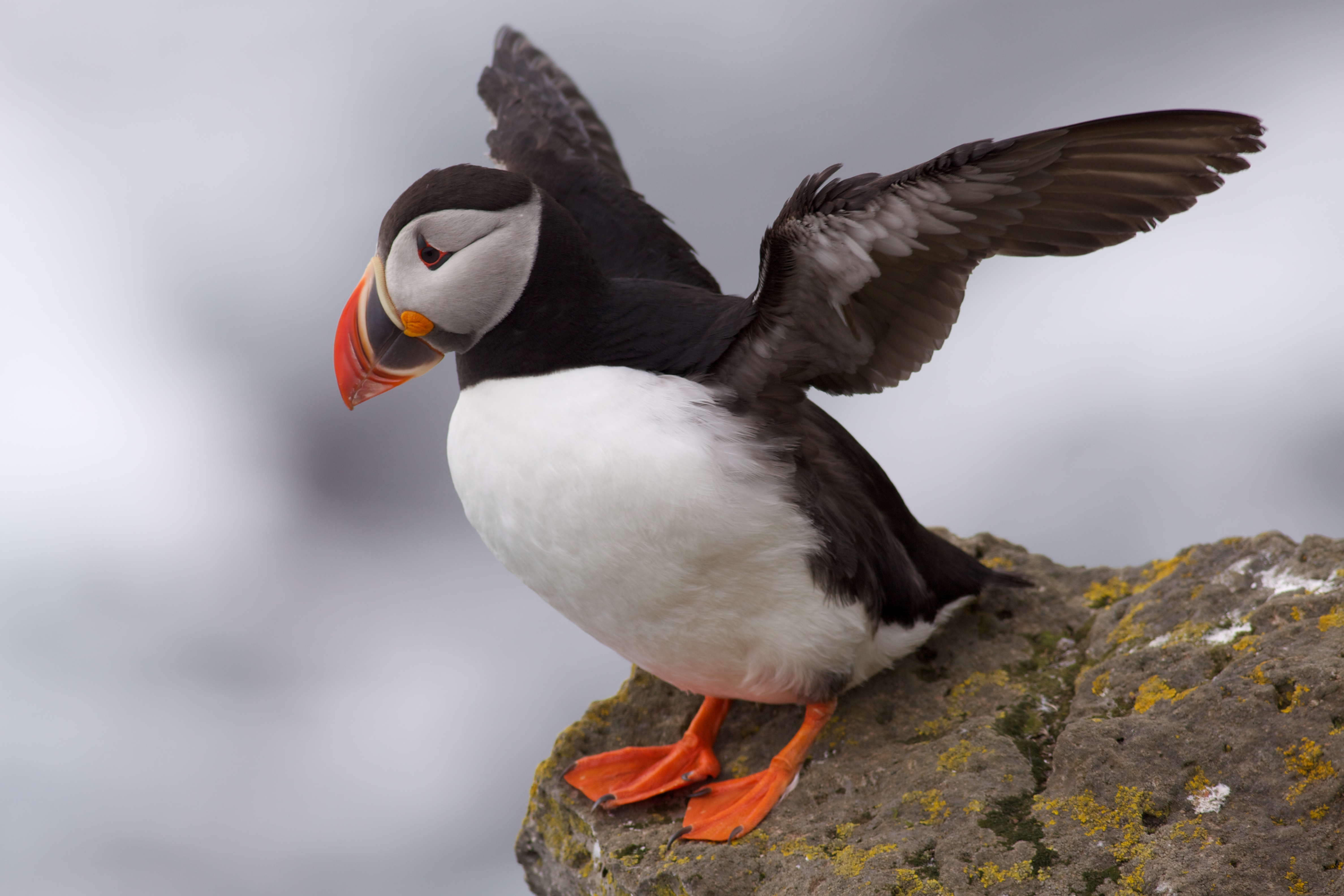 HD Quality Wallpaper | Collection: Animal, 4752x3168 Puffin