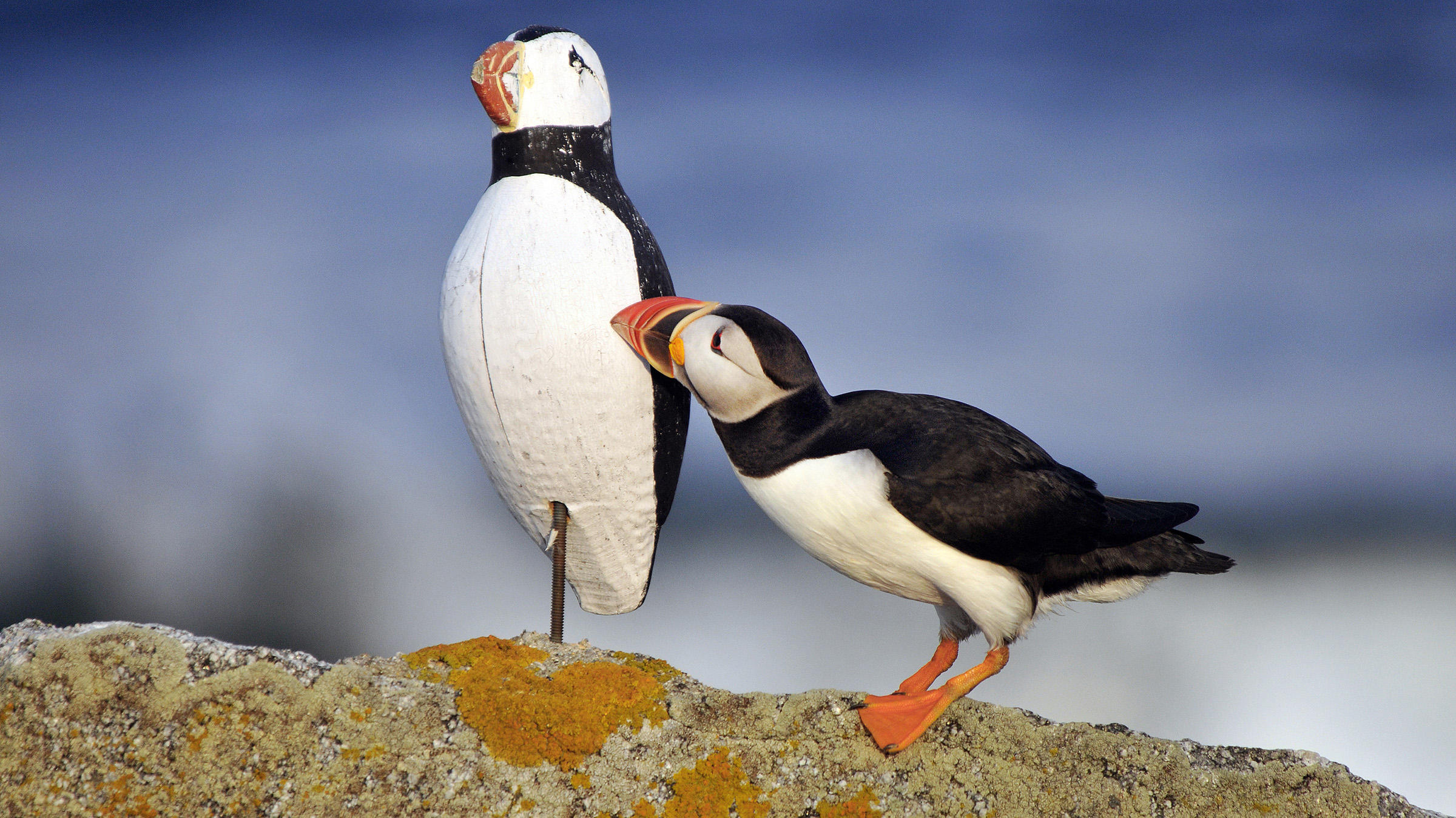 Puffin Backgrounds on Wallpapers Vista