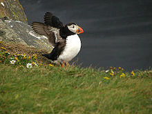 HD Quality Wallpaper | Collection: Animal, 220x165 Puffin