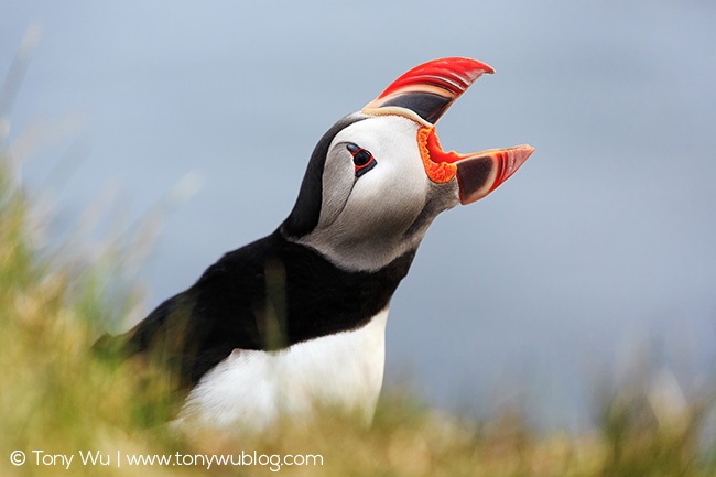 Puffin Backgrounds, Compatible - PC, Mobile, Gadgets| 650x433 px