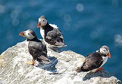 Nice wallpapers Puffin 250x172px