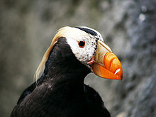 Amazing Puffin Pictures & Backgrounds