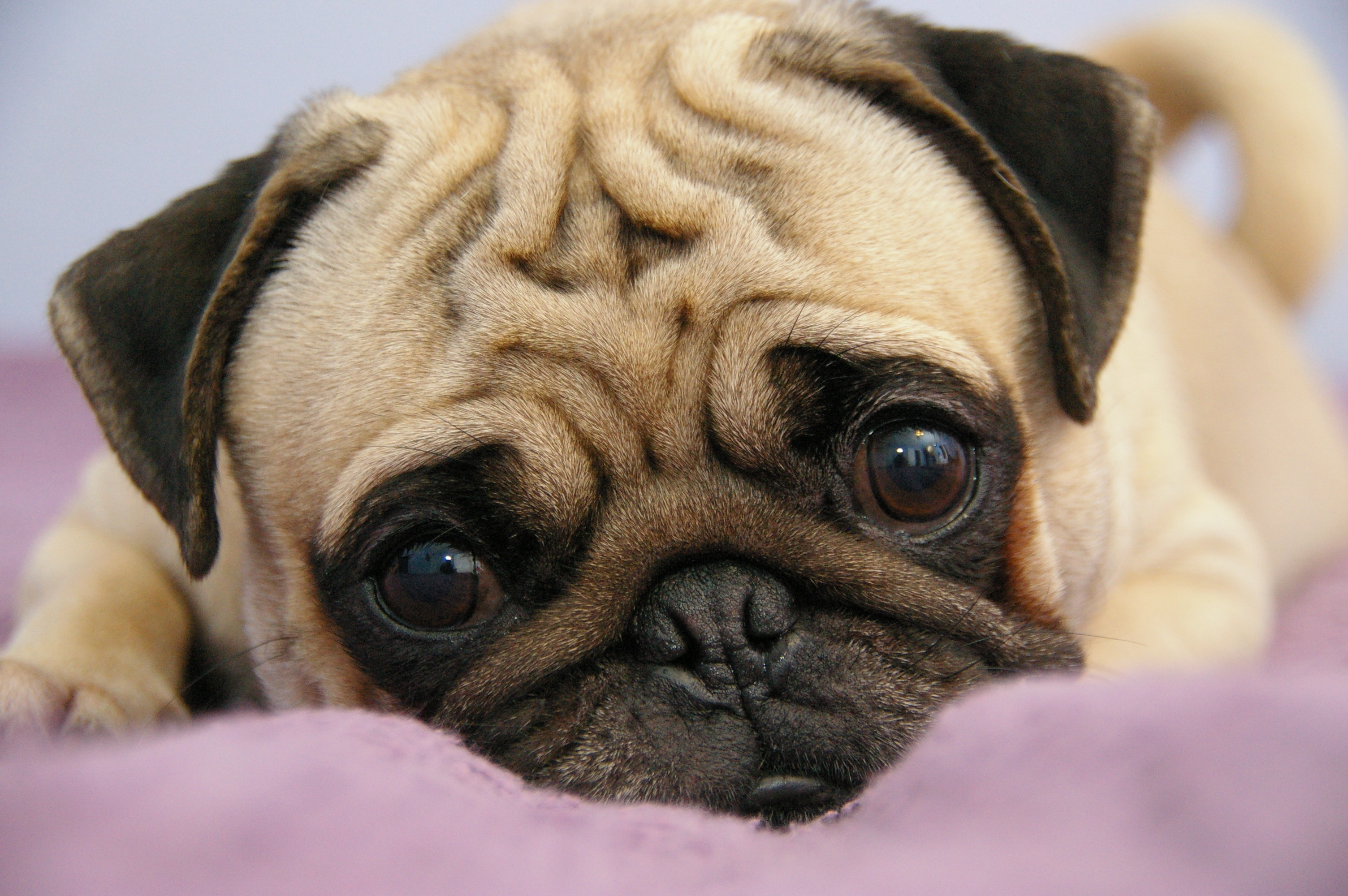 Amazing Pug Pictures & Backgrounds