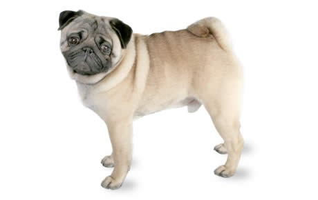 Nice Images Collection: Pug Desktop Wallpapers