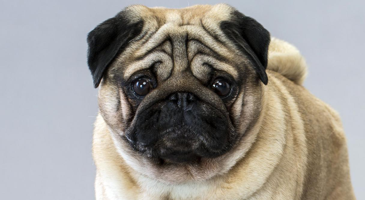 Images of Pug | 1216x668