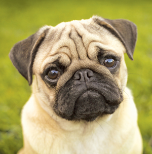 Pug Backgrounds on Wallpapers Vista