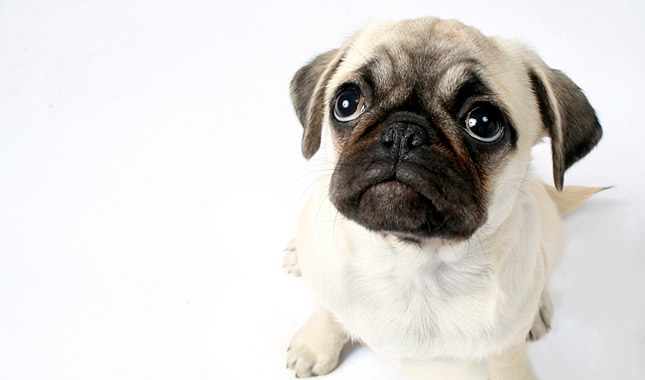 Pug High Quality Background on Wallpapers Vista