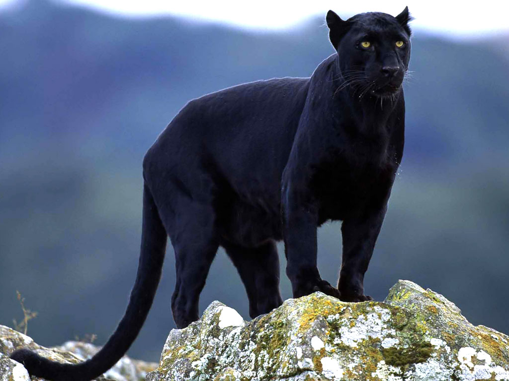 Nice Images Collection: Puma Desktop Wallpapers