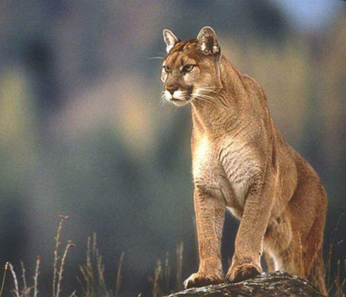 Puma Pics, Fantasy Collection