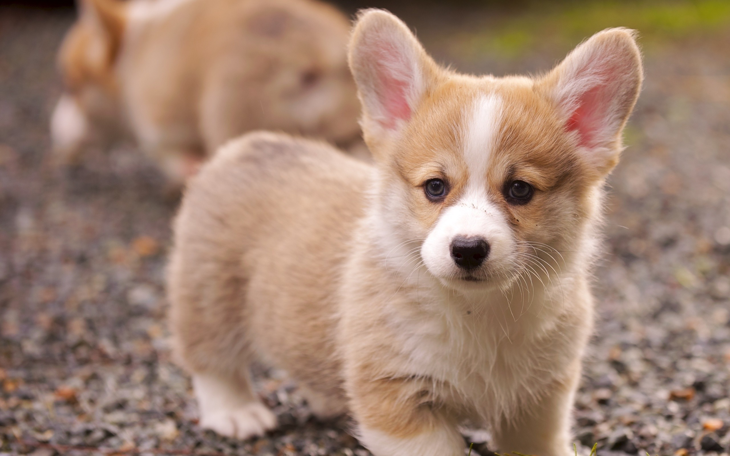 Nice Images Collection: Puppy Desktop Wallpapers