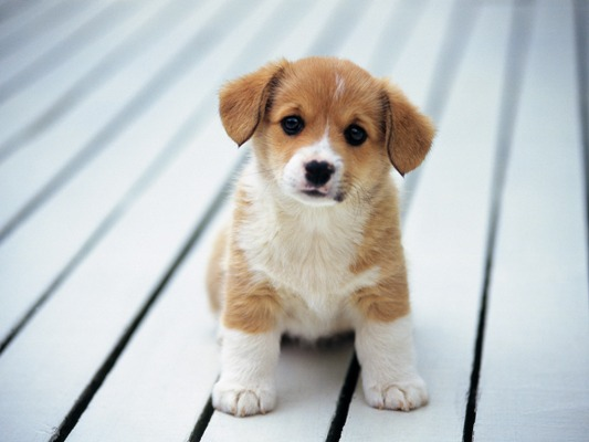 HQ Puppy Wallpapers | File 47.91Kb