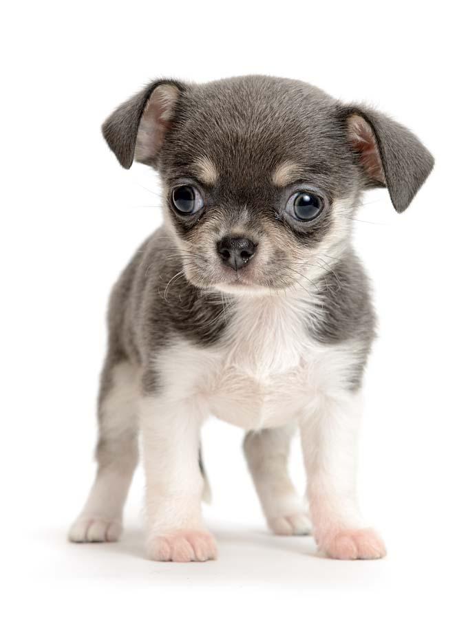 Puppy Backgrounds, Compatible - PC, Mobile, Gadgets| 680x907 px