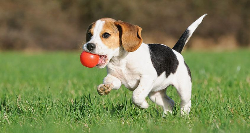 Puppy High Quality Background on Wallpapers Vista