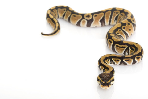 Python Backgrounds, Compatible - PC, Mobile, Gadgets  480x321 px