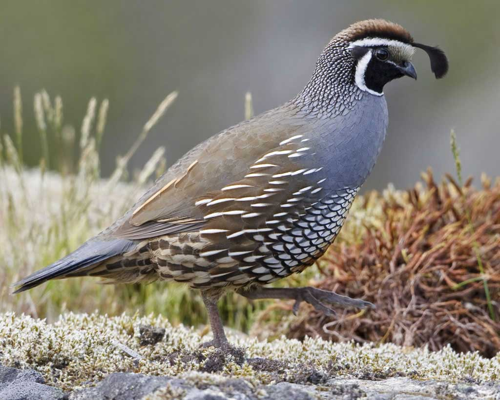Amazing Quail Pictures & Backgrounds