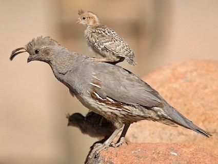 Quail Pics, Animal Collection