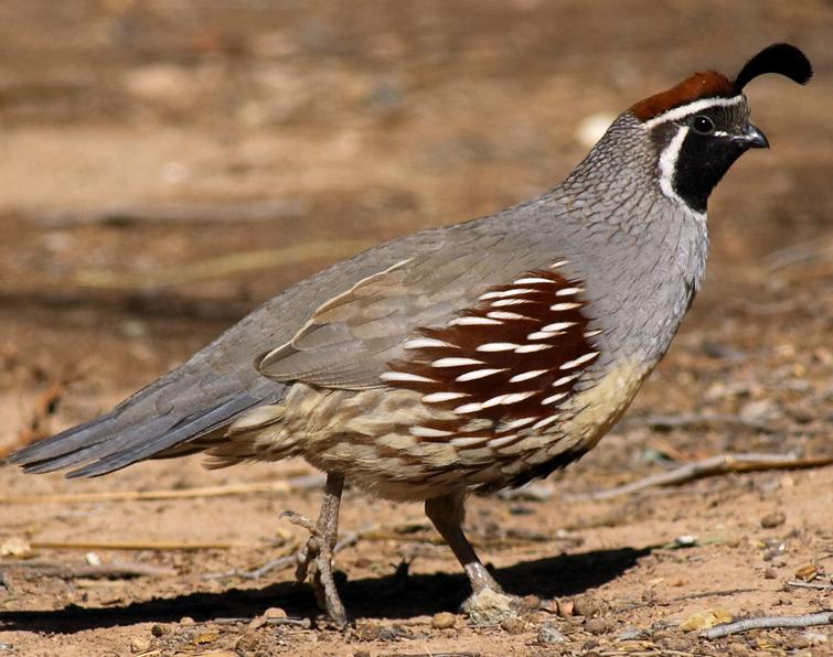Quail Backgrounds on Wallpapers Vista