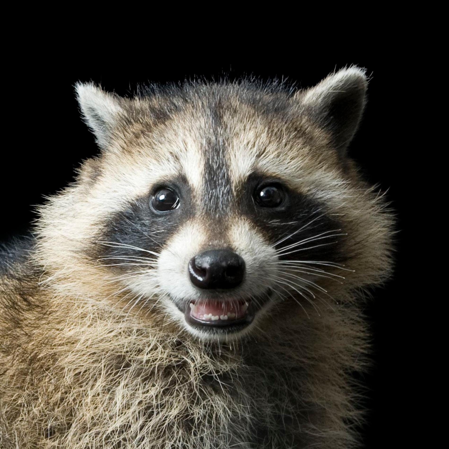 1900x1900 > Raccoon Wallpapers