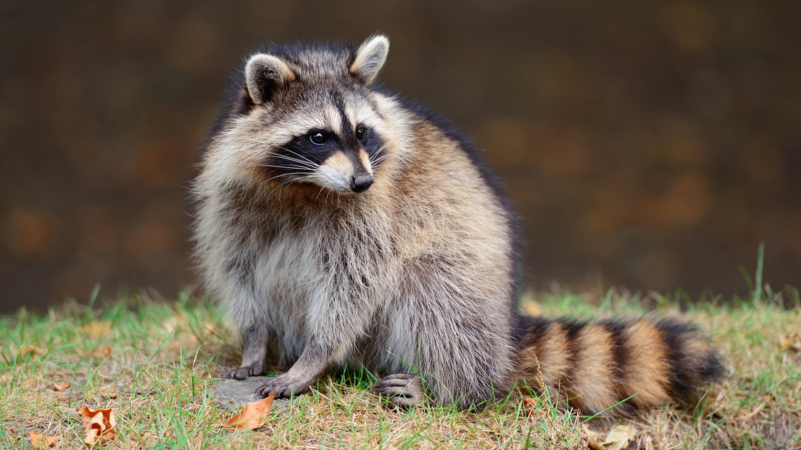 Raccoon Backgrounds, Compatible - PC, Mobile, Gadgets| 1600x900 px