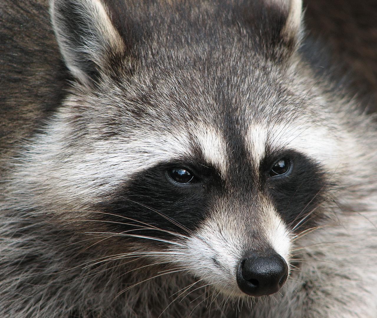 Nice Images Collection: Raccoon Desktop Wallpapers