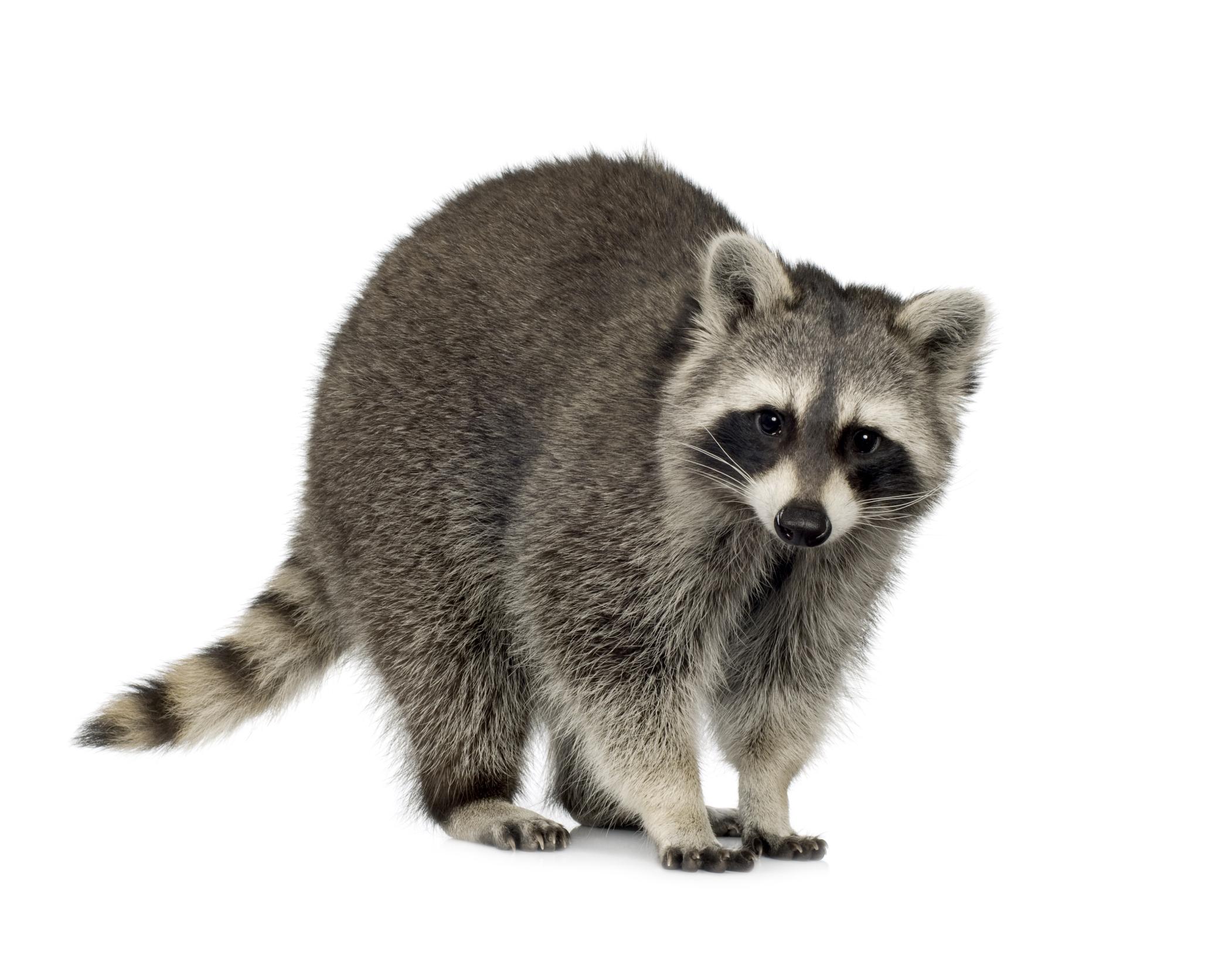 HQ Raccoon Wallpapers | File 1003.03Kb