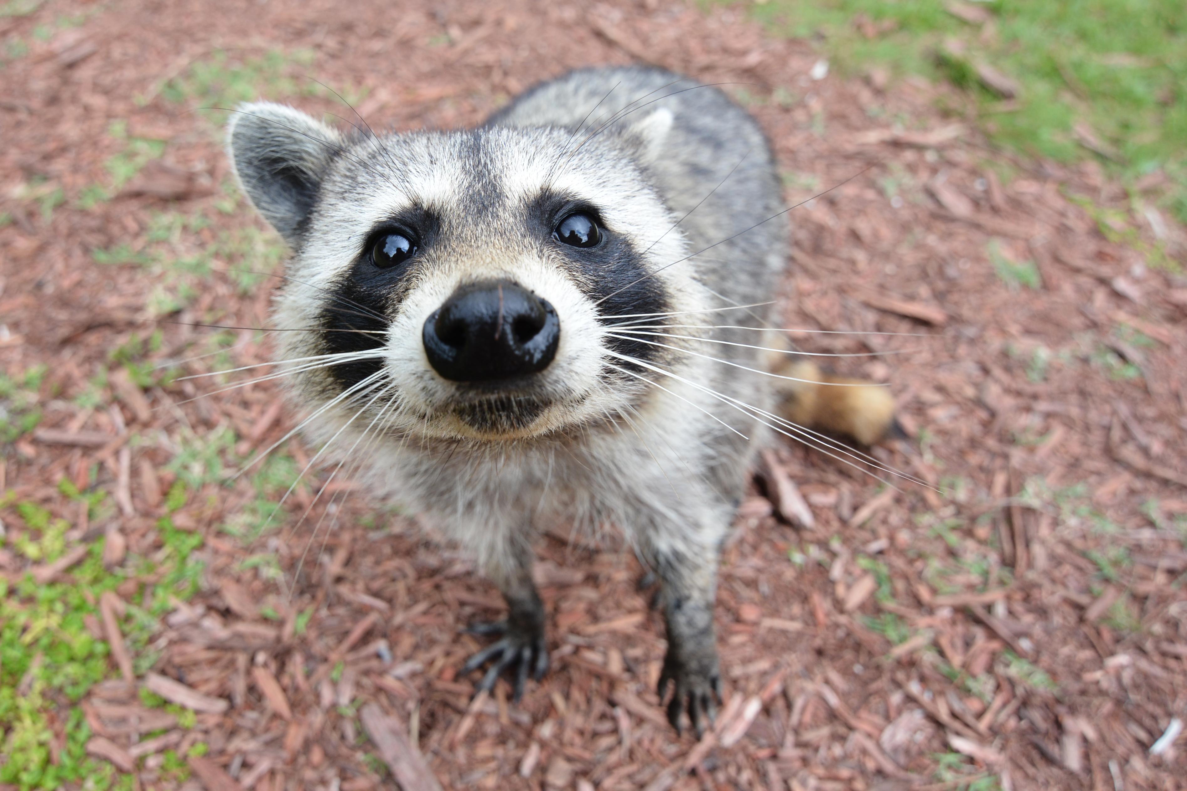 HD Quality Wallpaper | Collection: Animal, 3790x2527 Raccoon