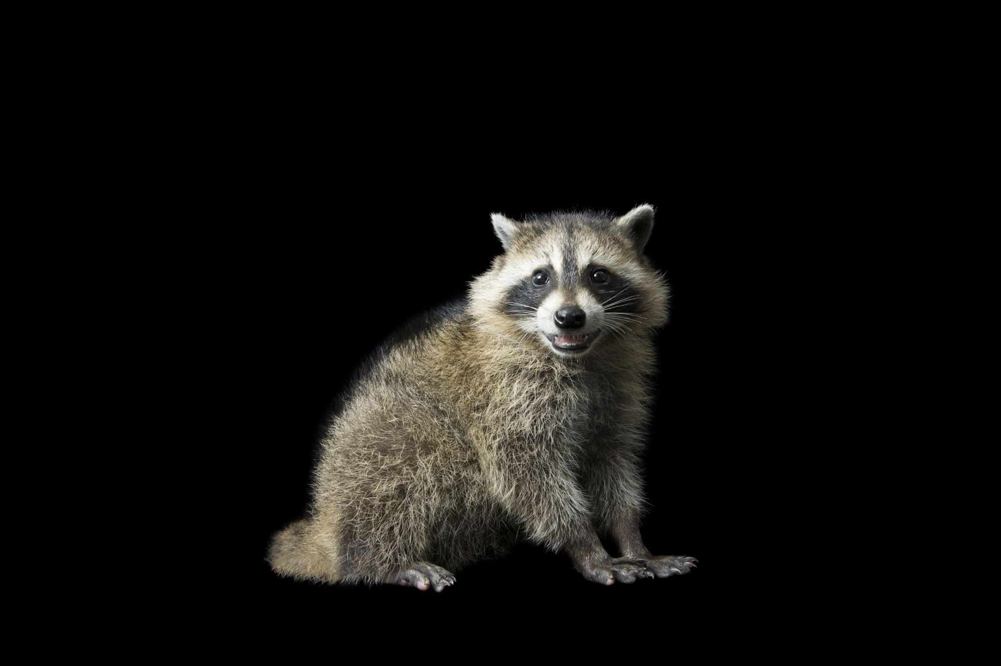 Amazing Raccoon Pictures & Backgrounds
