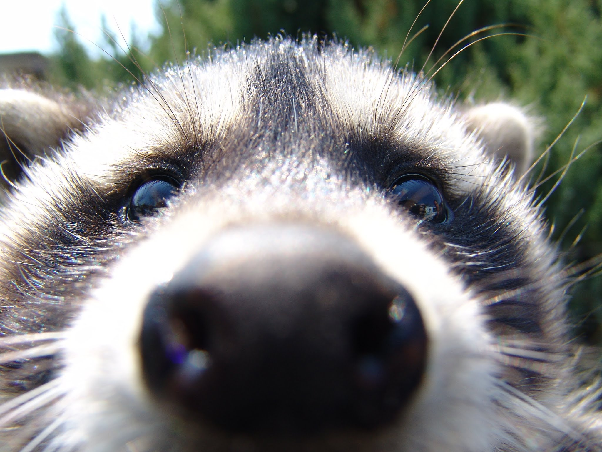 Images of Raccoon | 2048x1536
