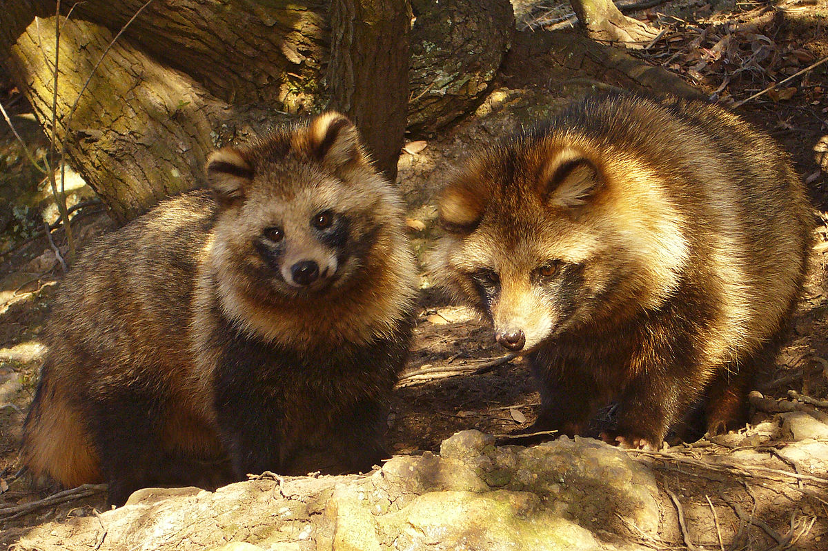 High Resolution Wallpaper | Raccoon Dog 1200x799 px