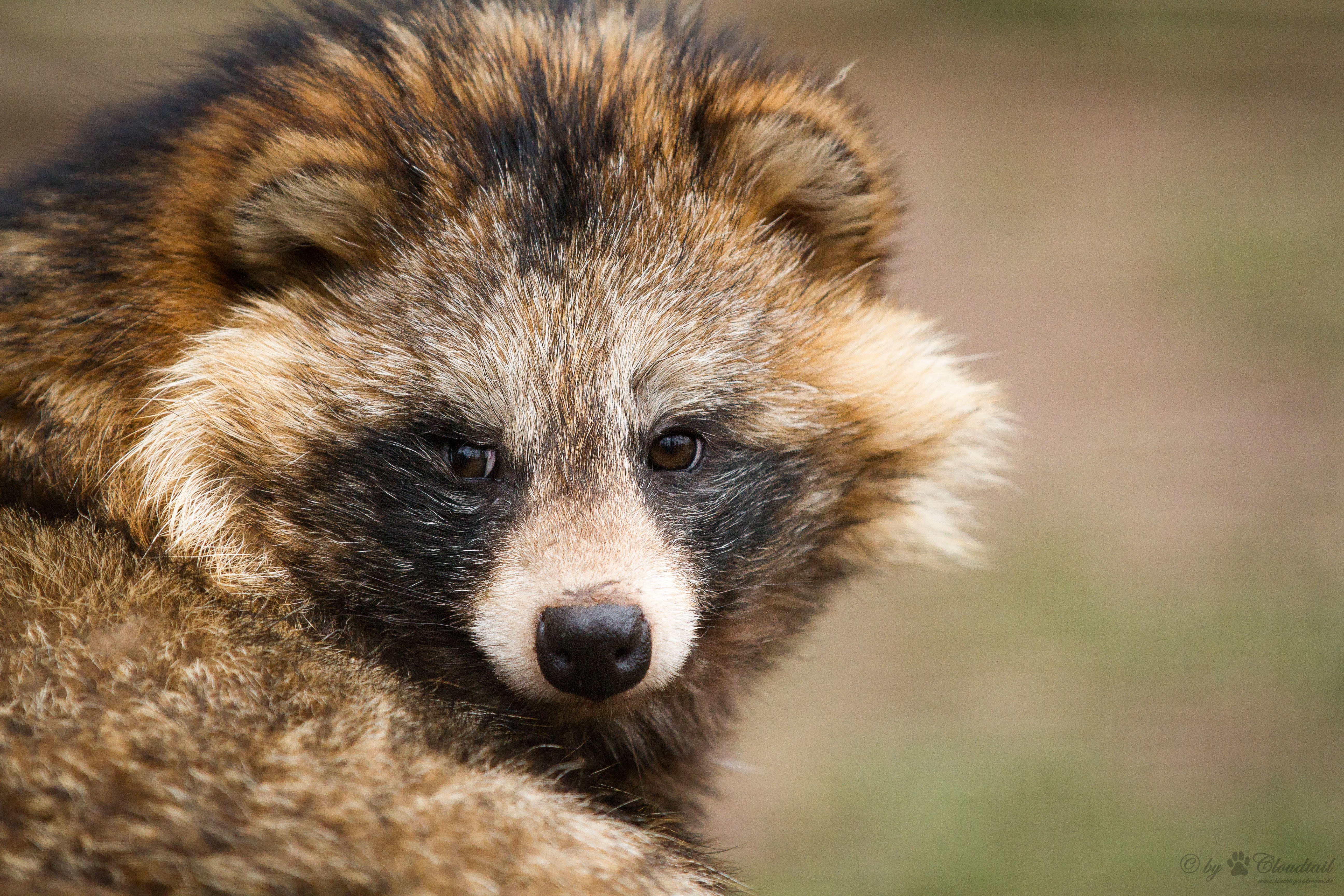 Nice Images Collection: Raccoon Dog Desktop Wallpapers