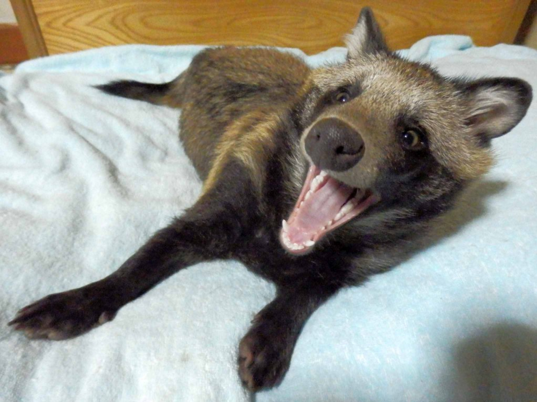 Raccoon Dog Backgrounds on Wallpapers Vista