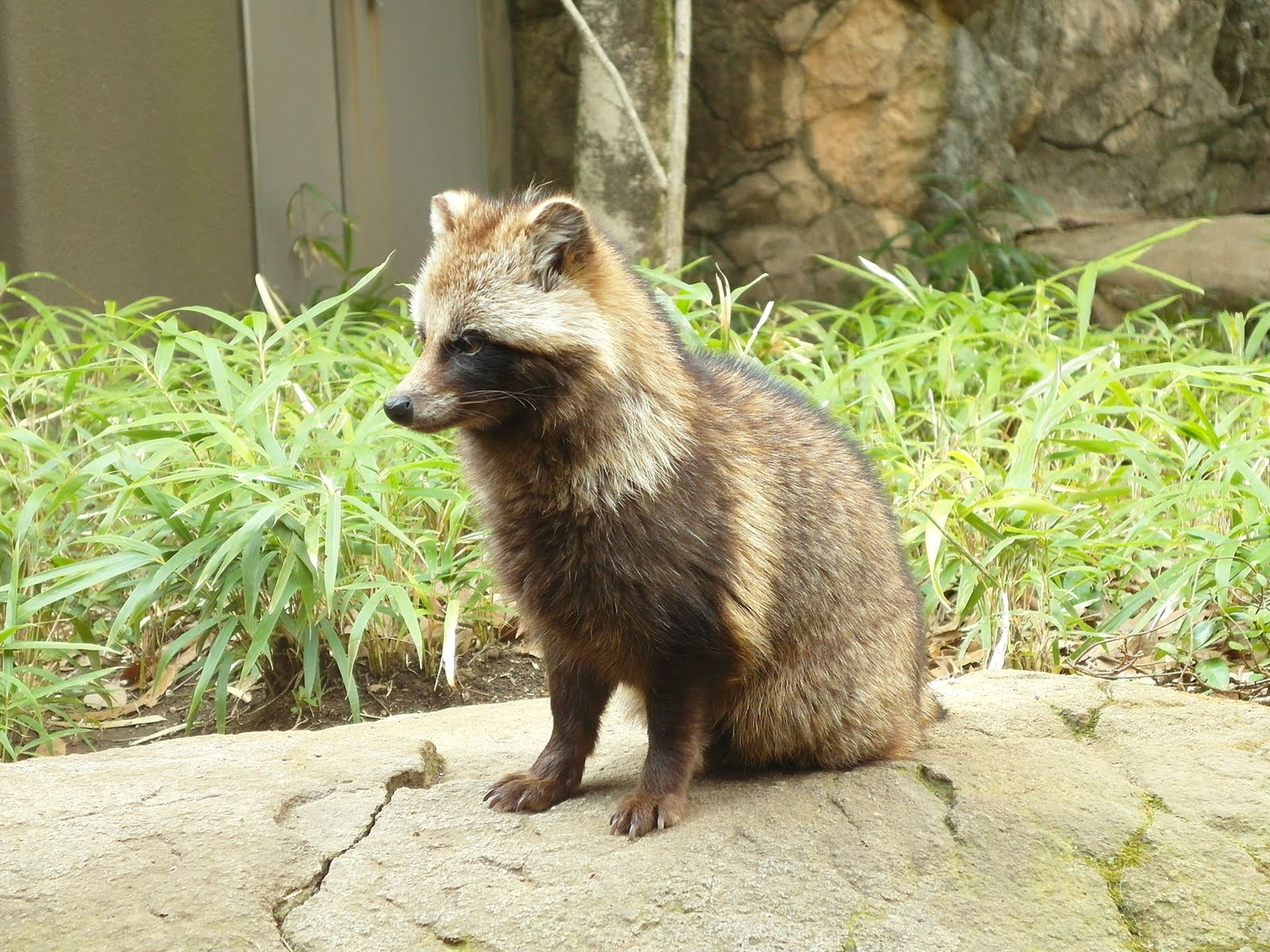Raccoon Dog High Quality Background on Wallpapers Vista
