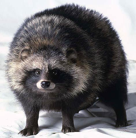 HQ Raccoon Dog Wallpapers | File 46Kb