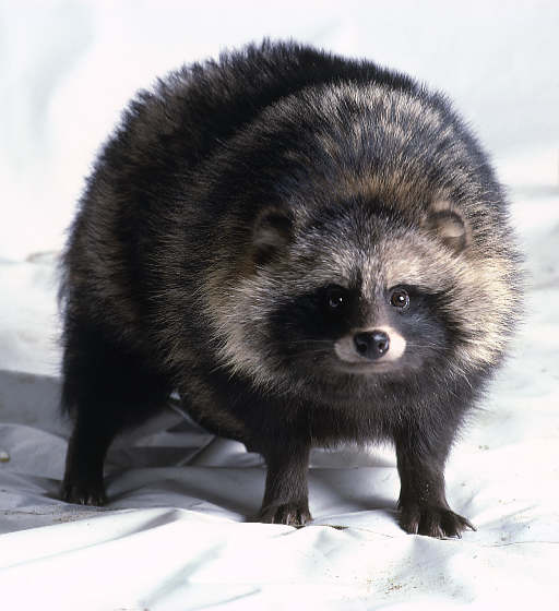 High Resolution Wallpaper | Raccoon Dog 512x560 px