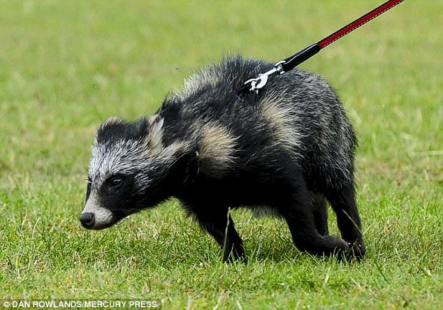 Raccoon Dog #16