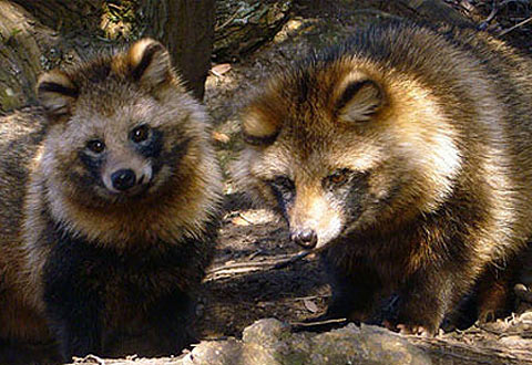 HD Quality Wallpaper | Collection: Animal, 480x330 Raccoon Dog