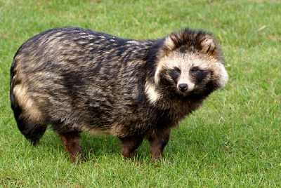 Raccoon Dog #25