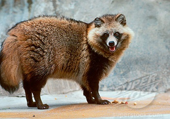 Raccoon Dog Backgrounds, Compatible - PC, Mobile, Gadgets| 350x246 px