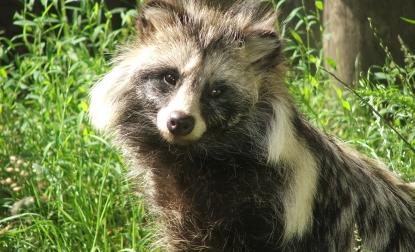 HQ Raccoon Dog Wallpapers | File 120.15Kb