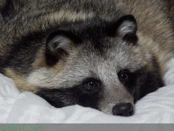 Images of Raccoon Dog | 600x450